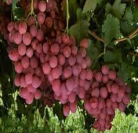 با خوردن انگور عفونت گوشتان را درمان کنید