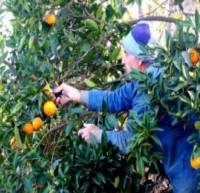 قهر بودن بیمه با کارگران «نارنگی و پرتقال چین» در مازندران/ قشری محروم و بینصیب حتی در قبال مخاطرات کار!