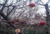 به بار نشستن درخت البالو در زمستان+ عکس