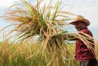 اولین برداشت برنج در شهرستان میاندورود/ اجرای مرحله دوم مبارزه بیولوزیک کرم ساقهخوار برنج