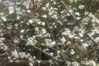 شکوفه نشستن درخت آلوچه در میاندورود+تصاویر