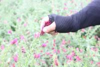کشت گیاه دارویی گلگاوزبان در شهر سورک
