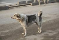 جولان سگهای ولگرد در میاندورود و نبود عزم جدی برای ساماندهی