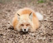تصاویر/ اقامتگاه روباهان در ژاپن