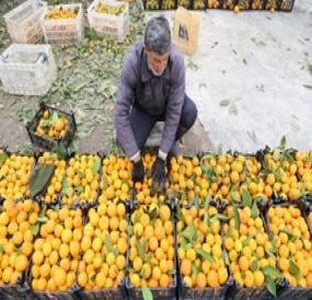 جلوگیری از واردات؛ تنها مرهمی برای باغداران مازندران