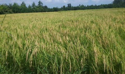 اولین برداشت برنج در میاندورود/ پیش بینی برداشت 44 هزار تن در مرحله اول