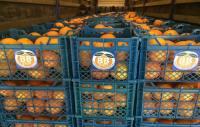 صادرات 20 تن پرتقال از میاندورود به روسیه